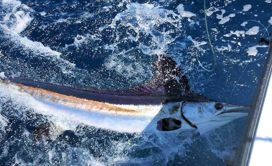 Offshore Blue Marlin